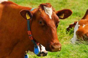 מה משותף לפרה אדומה ולמנורה? | פרשת תצווה