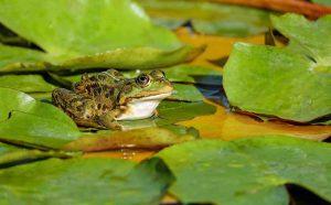 מכת צפרדע? שיעור פרטי באמונה לרשעים? פרשת וארא